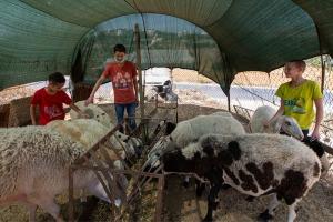 Ai tre fratelli piace aiutare il padre con le pecore della famiglia